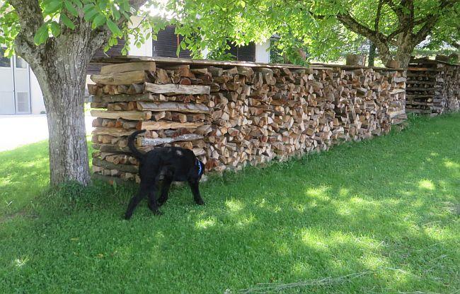 Hund untersucht Brennholz