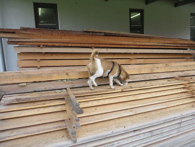 Hund untersucht Schnittholz
