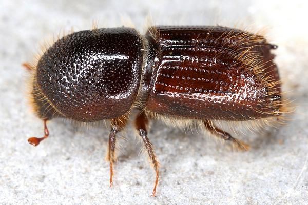 Das Insekt Buchdrucker in Großaufnahme