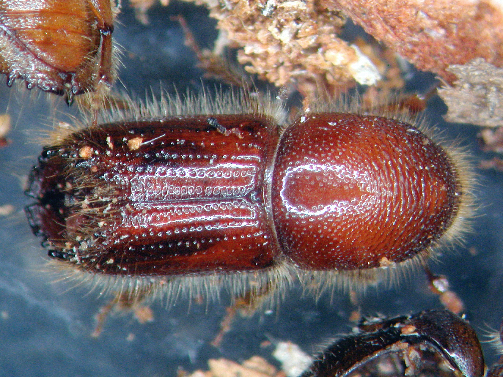 das Insekt: der Buchdrucker