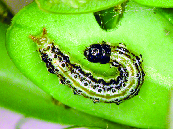 Green larvae of the box tree moth