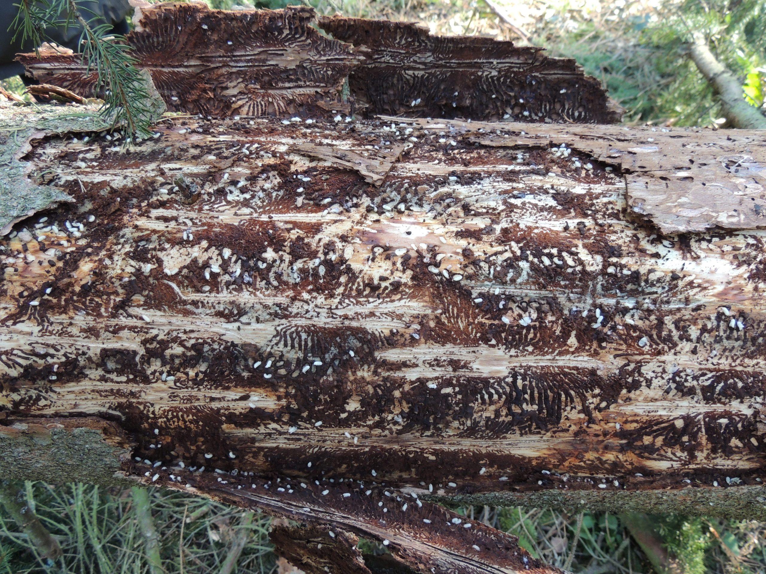 Rinde fällt von einem Baumstamm ab