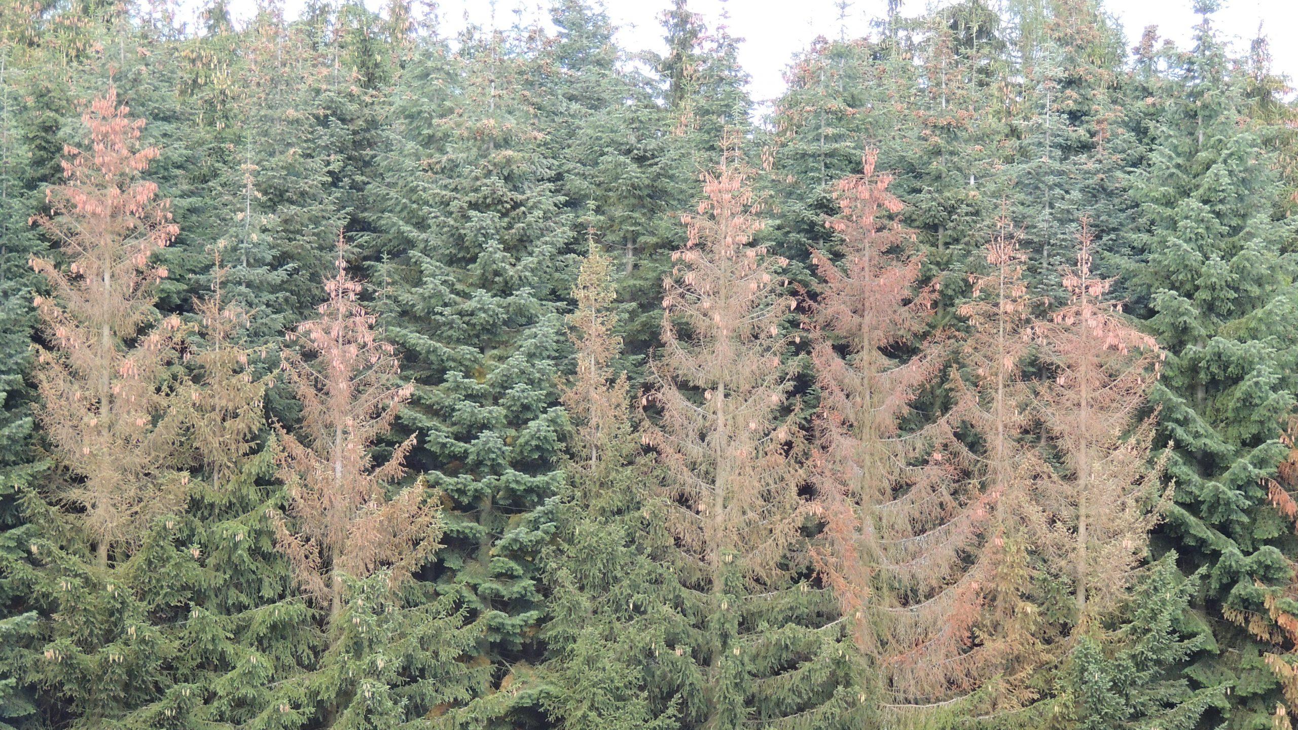 Fichtenbäume mit braunen Kronen