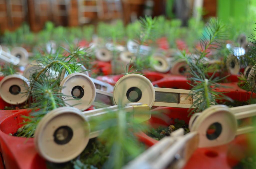 Junge Baumsetzlinge in kleinen roten Containern