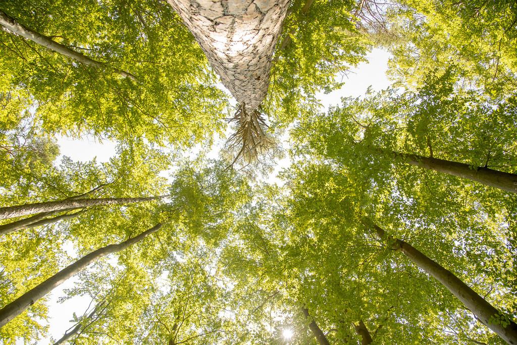 Blick vom Boden in die Baumkrone, Blätter sind gelb, Herbstverfärbung