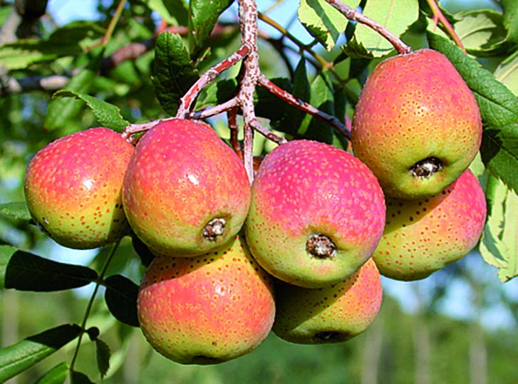 Speierling-Früchte
