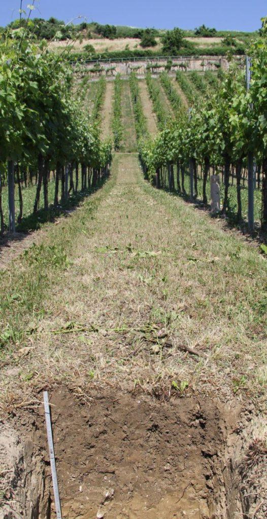 Weingartenreihen mit einer Profilgrube im Vordergrund