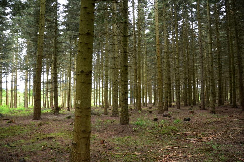 Pflanzweiteversuch in Ottenstein mit Fichte