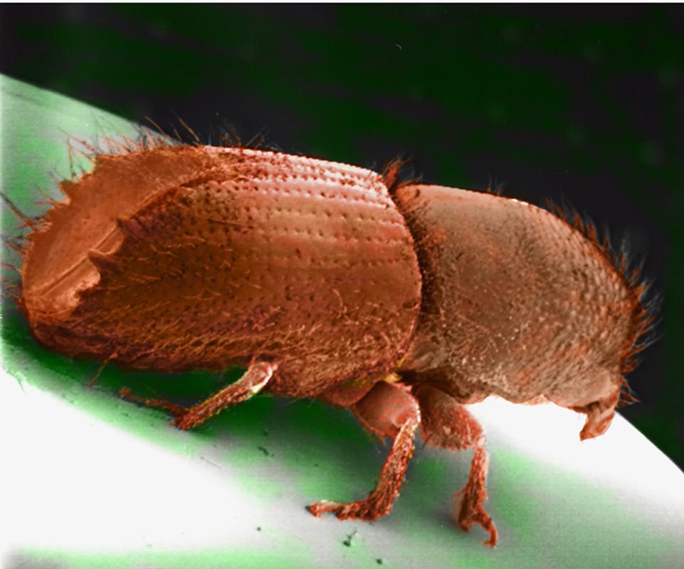 Braunes Insekt, namens Buchdrucker, in Großaufnahme
