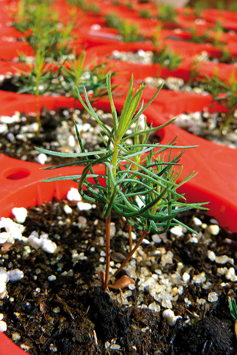 Spruce in small container