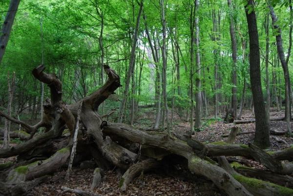 Totholz liegt im Buchenwald kreuz und quer