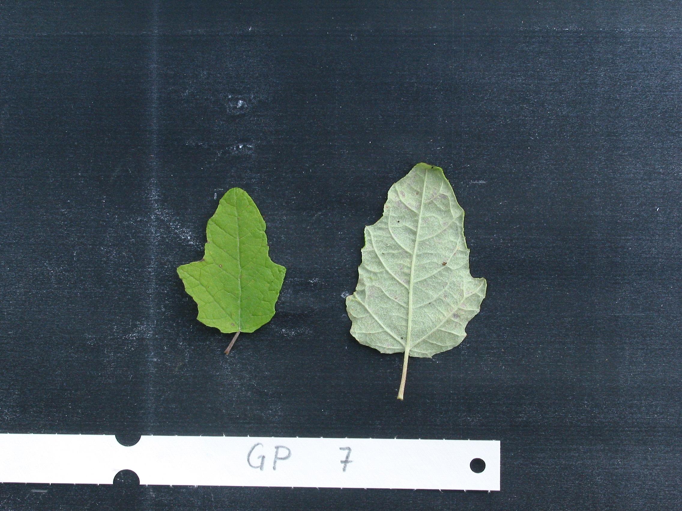 verschiedene Blätter von Pappeln