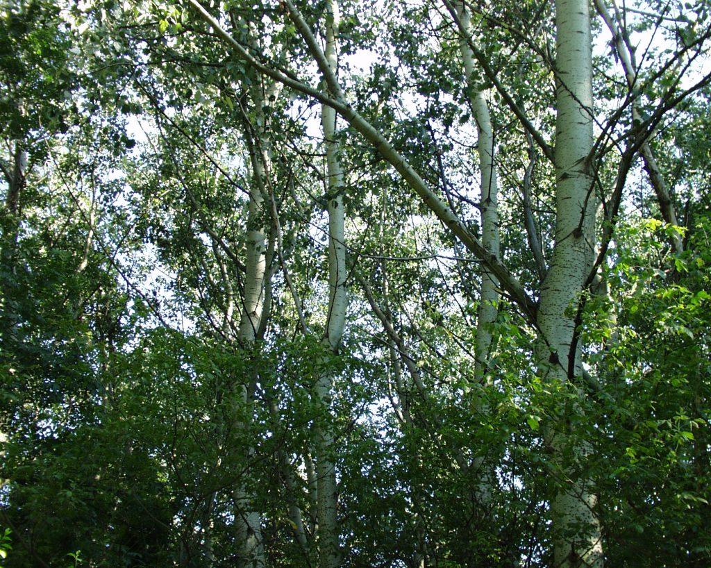 Pappelbäume von der Seite fotografiert