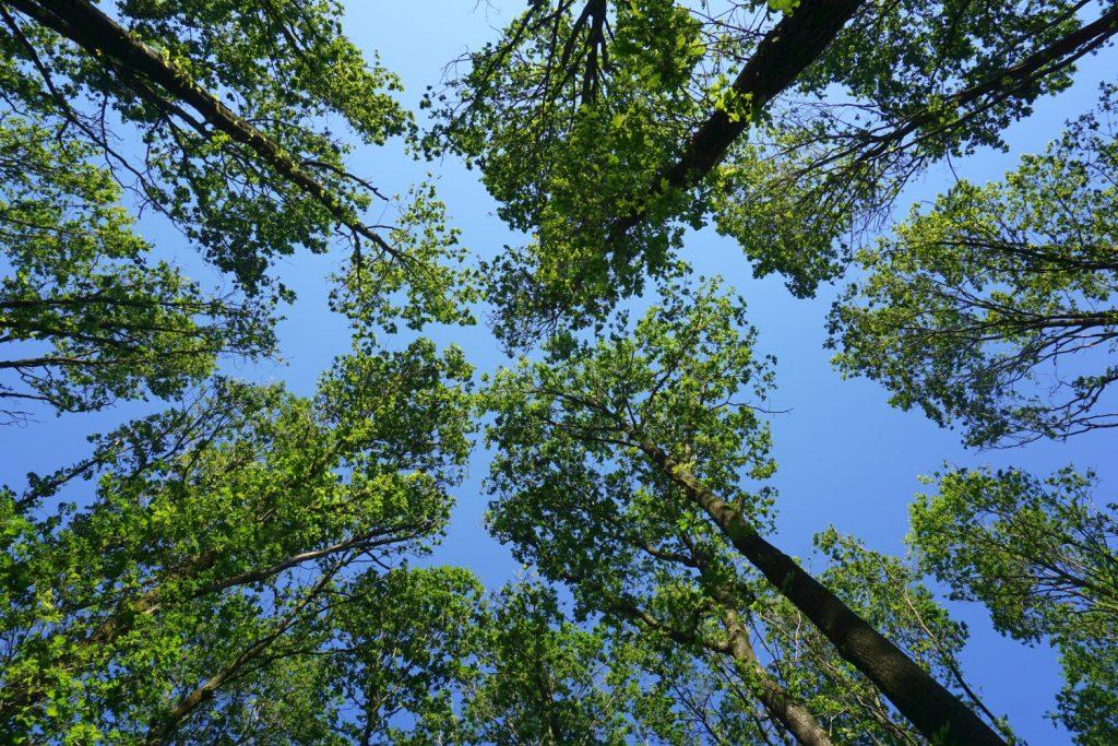 Blick in die Baumkronen eines Laubwaldes