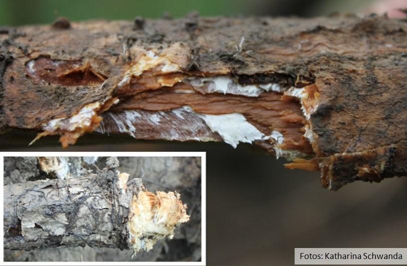 Eschenstamm liegt quer, Rinde aufgerissen und weißes Pilzmycel ist sichtbar