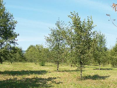 Bei Transtree liegt der Fokus auf Kurzumtriebsflächen